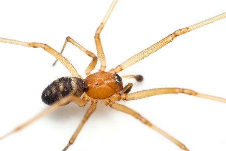 Steatoda grossa - Cupboard spider