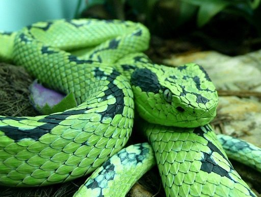 Leggi la notizia di misterloto su https://www.animali-velenosi.it/serpenti/bothriechis-aurifer/