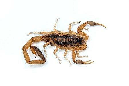 Scorpione striato della corteccia - Centruroides vittatus