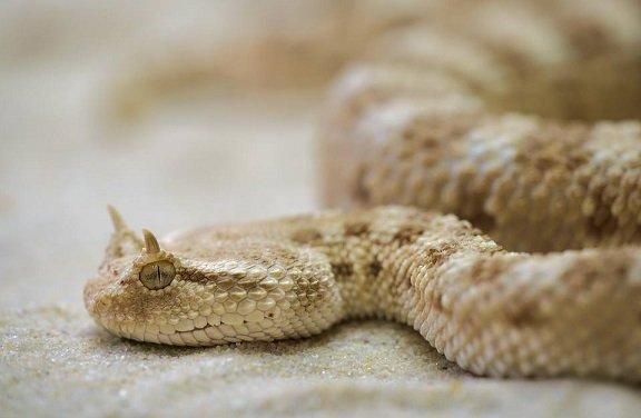 Leggi la notizia di misterloto su https://www.animali-velenosi.it/serpenti/vipera-cornuta-del-deserto/