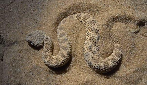 Ceraste cerastes - Vipera cornuta del deserto