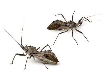 Leggi la notizia di misterloto su https://www.animali-velenosi.it/insetti/arilus-cristatus/