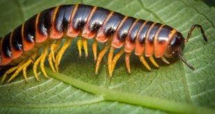 Apheloria virginiensis - Millepiedi dal dorso piatto