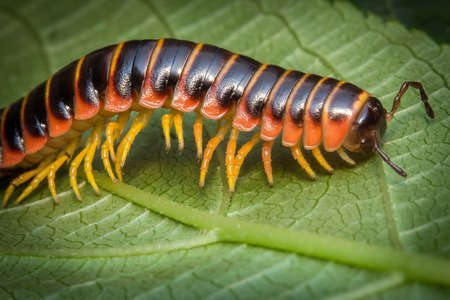 Leggi la notizia di misterloto su https://www.animali-velenosi.it/insetti/apheloria-virginiensis/
