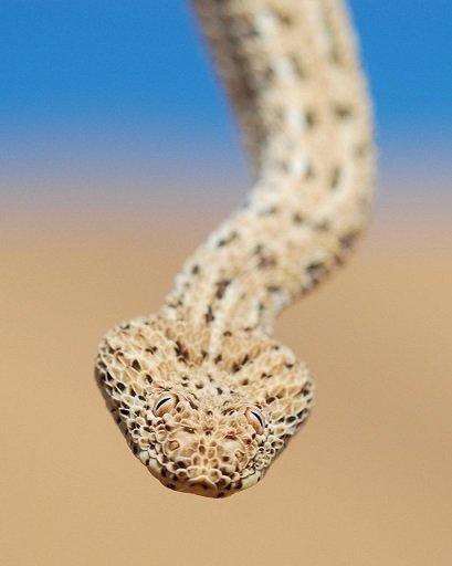 Leggi la notizia di misterloto su https://www.animali-velenosi.it/serpenti/vipera-di-peringuey/