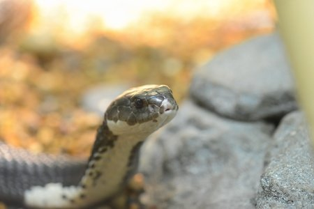 Cobra sputatore indocinese - Naja siamensis