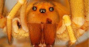 Ragno eremita cileno - Loxosceles laeta
