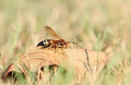 Leggi la notizia di misterloto su https://www.animali-velenosi.it/insetti/sphecius-speciosus/