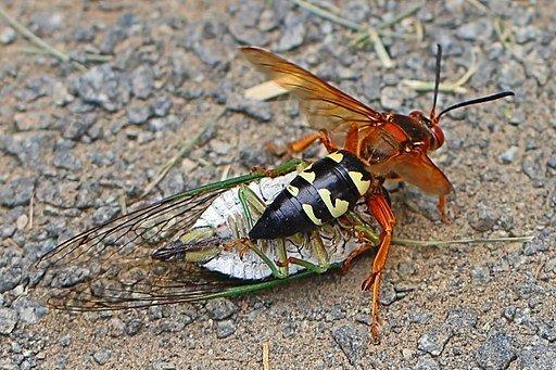 Sphecius speciosus - Vespa killer delle cicale
