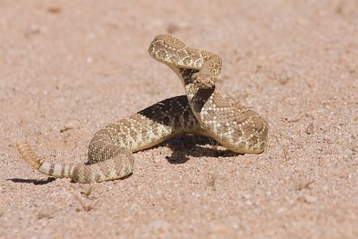 Crotalus scutulatus - Crotalo di Mojave