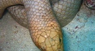 Serpente bruno oliva di mare - Aipysurus laevis
