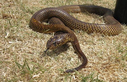 Cobra del sudafrica - Naja nivea