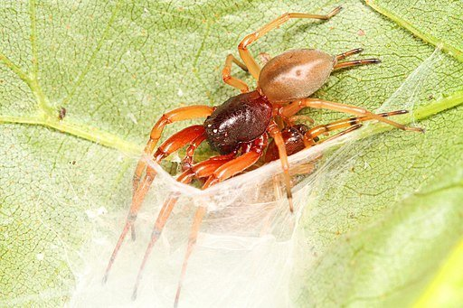Trachelas tranquillus - Broad Faced Sac Spider