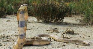 Cobra del Caspio – Naja oxiana