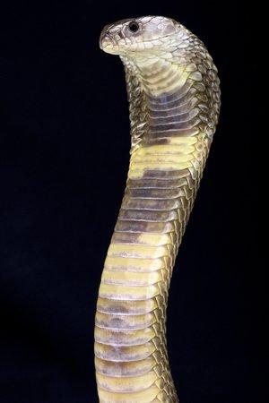 Leggi la notizia di misterloto su https://www.animali-velenosi.it/serpenti/cobra-del-caspio-naja-oxiana/