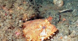 Opsanus tau - Oyster Toadfish