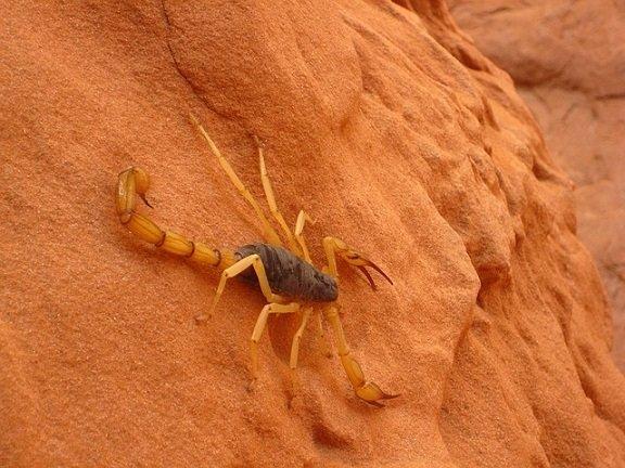 Scorpione gigante del deserto - Hadrurus arizonensis
