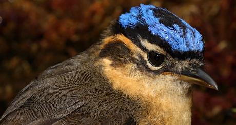 Ifrita dal dorso blu - Ifrita kowaldi