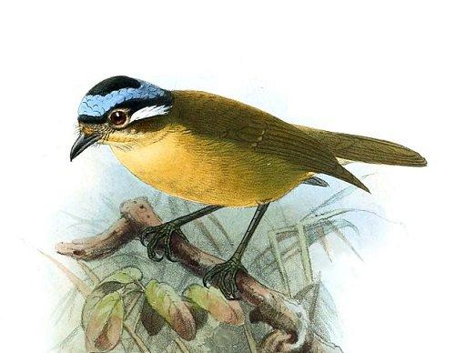 Leggi la notizia di misterloto su https://www.animali-velenosi.it/uccelli/ifrita-kowaldi/