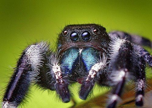 Leggi la notizia di misterloto su https://www.animali-velenosi.it/ragni/ragno-saltatore-phidippus-audax/