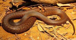 Serpente Bruno Occidentale - Pseudonaja nuchalis
