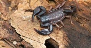 Euscorpius italicus - Scorpione italiano