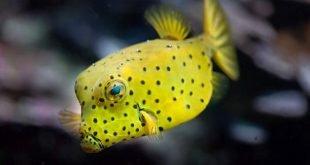 Ostracion cubicus - Pesce scatola