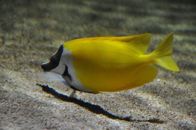 Siganus vulpinus - Lo vulpinus