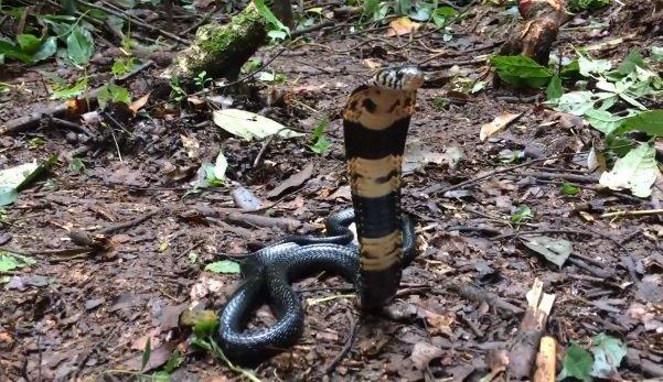 Naja melanoleuca - Cobra della foresta