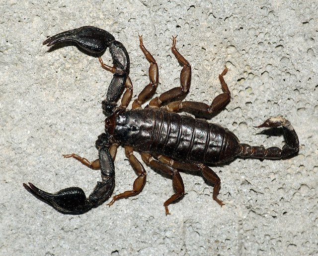 Scorpione coda gialla - Euscorpius flavicaudis
