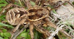 Ragno lupo tarantola - Lycosa tarantula