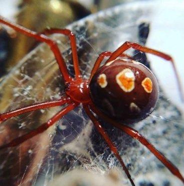 Latrodectus bishopi - Vedova rossa
