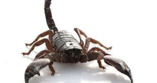 Pandinus cavimanus - Scorpiome artiglio rosso