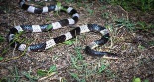 Bungarus candidus - Krait malese