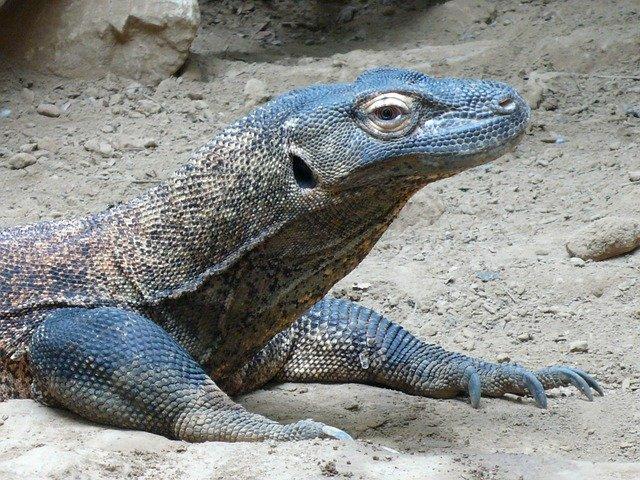 Drago di komodo - Varano di Komodo