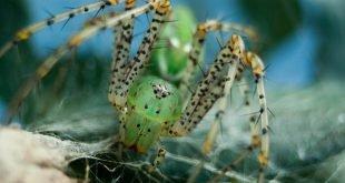 Peucetia viridans - Ragno lince verde