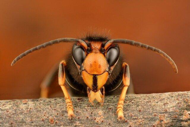 Vespa velutina - Calabrone asiatico