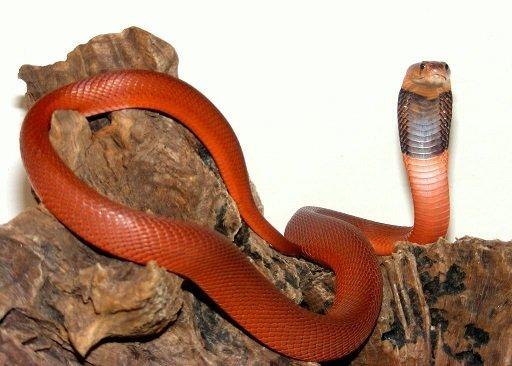 Cobra sputatore rosso - Naja pallida