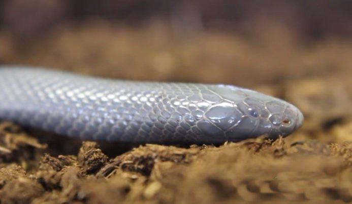 Serpente stiletto - Atractaspis bibronii