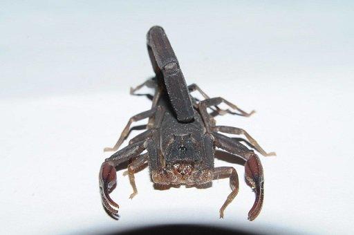 Centruroides gracilis - Scorpione blu