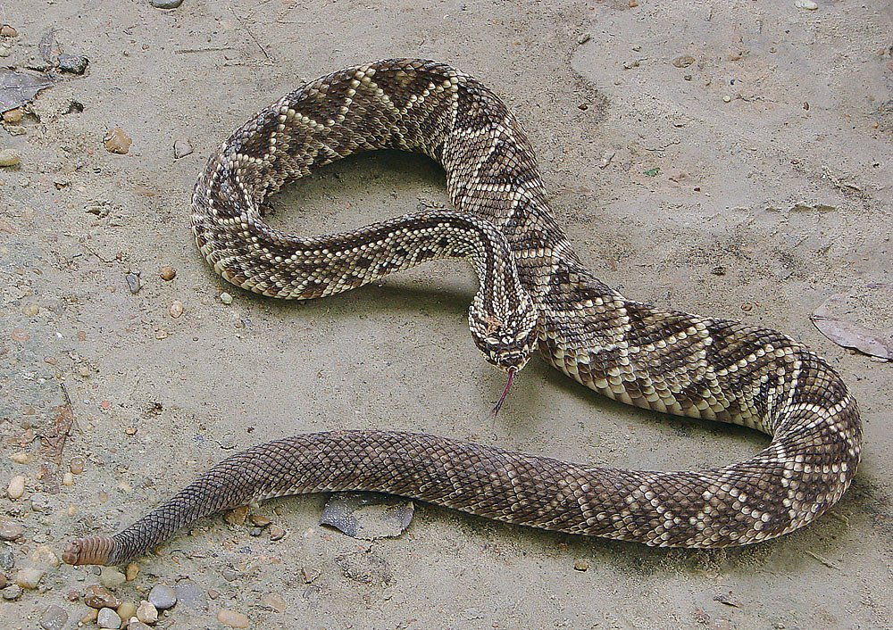 Serpente cascavel - Crotalus durissus