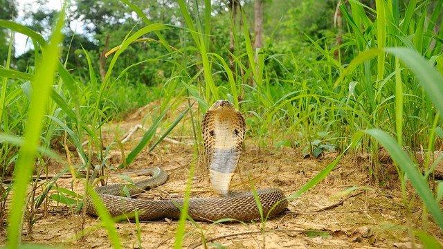 Cobra Monocolo – Naja kaouthia