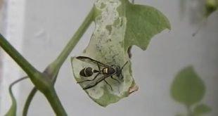 Vespa Camoati - Polybia occidentalis