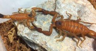 Rhopalurus junceus - Scorpione dal veleno blu