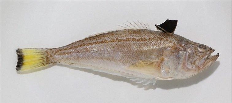 Tracina Vipera - Echiichthys vipera