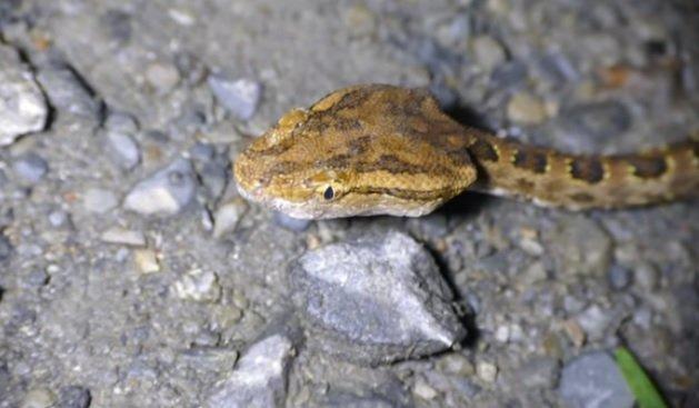 Habu di Taiwan - Protobothrops mucrosquamatus