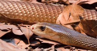 Morto per il Morso di un Serpente Bruno Occidentale