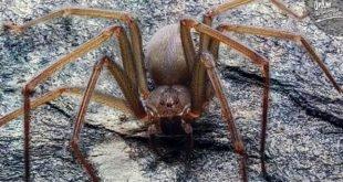 Scoperta una nuova specie di ragni, il Loxosceles tenochtitlan