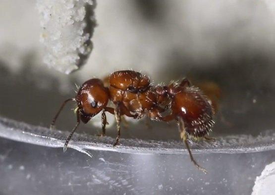 Formica Mietitrice Rossa - Pogonomyrmex barbatus
