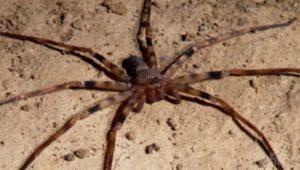 Ragno cacciatore gigante - Heteropoda maxima